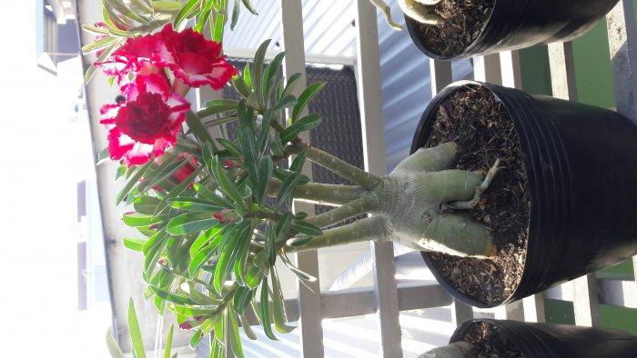Hoa sứ Thái Lan2