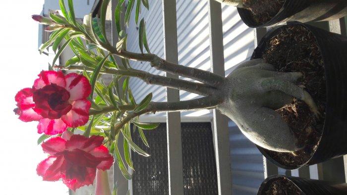 Hoa sứ Thái Lan3
