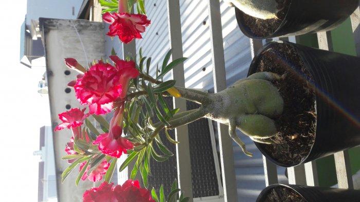 Hoa sứ Thái Lan4