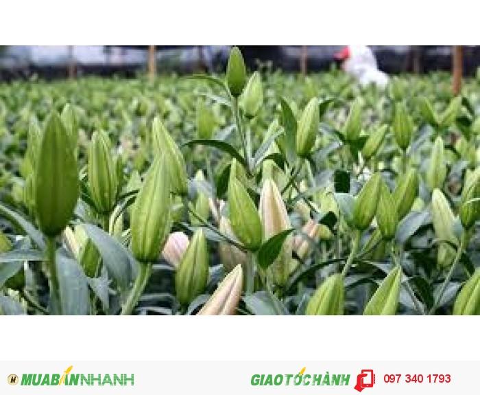 Lily hồng thơm bán đủ 1 sọt 150 củ, giá 10.800đ/ 1 củ. Liên hệ: 0962.209.8130