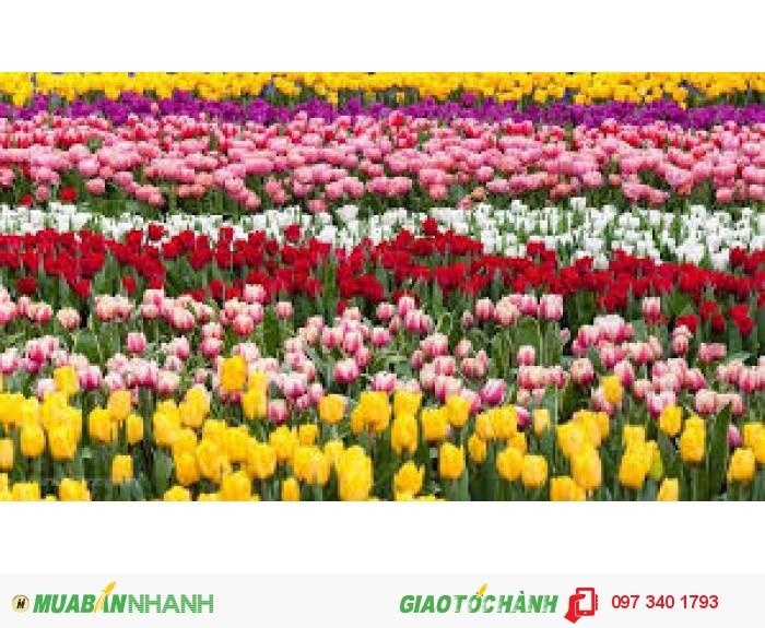 Tulip giá dao động từ 4.400đ - 5.500đ, giá tùy giống, số lượng và size. Liên hệ: 0962.209.8134
