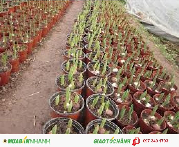 Tulip giá dao động từ 4.400đ - 5.500đ, giá tùy giống, số lượng và size.6