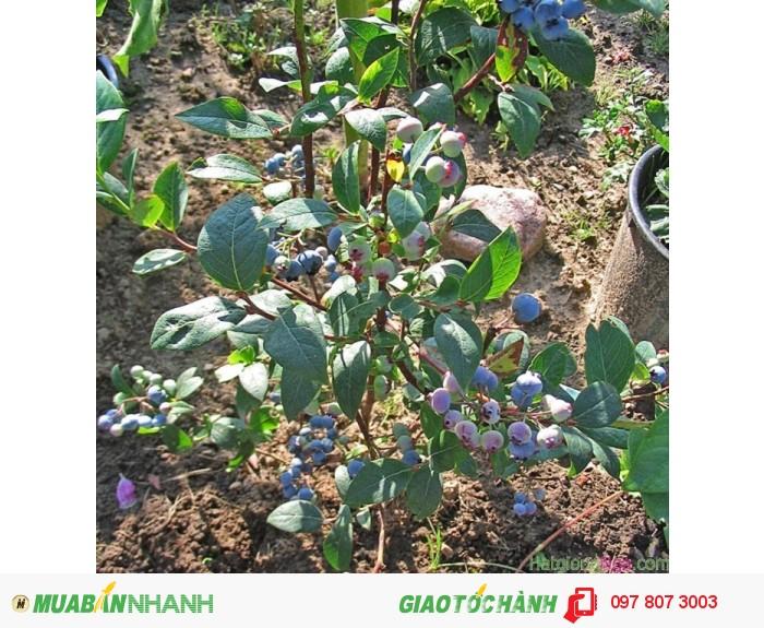 Chuyên cung cấp cây giống việt quất ( sim úc) chuẩn giống, uy tín, chất lượng1