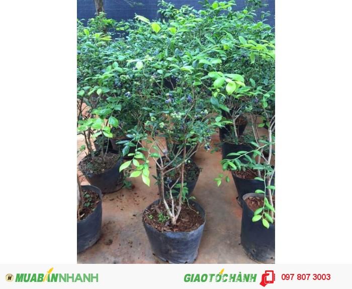 Chuyên cung cấp cây giống việt quất ( sim úc) chuẩn giống, uy tín, chất lượng2