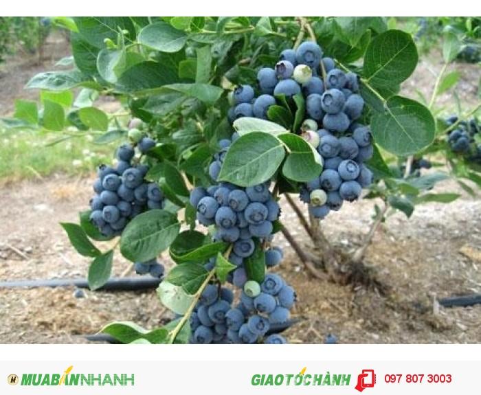 Chuyên cung cấp cây giống việt quất ( sim úc) chuẩn giống, uy tín, chất lượng3