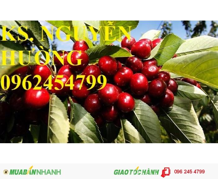 Giống cây cherry (giống cây che ry), cây cherry brazil, cây cherry anh đào nhập khẩu0