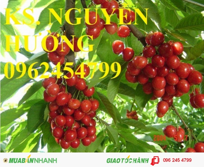 Giống cây cherry (giống cây che ry), cây cherry brazil, cây cherry anh đào nhập khẩu1