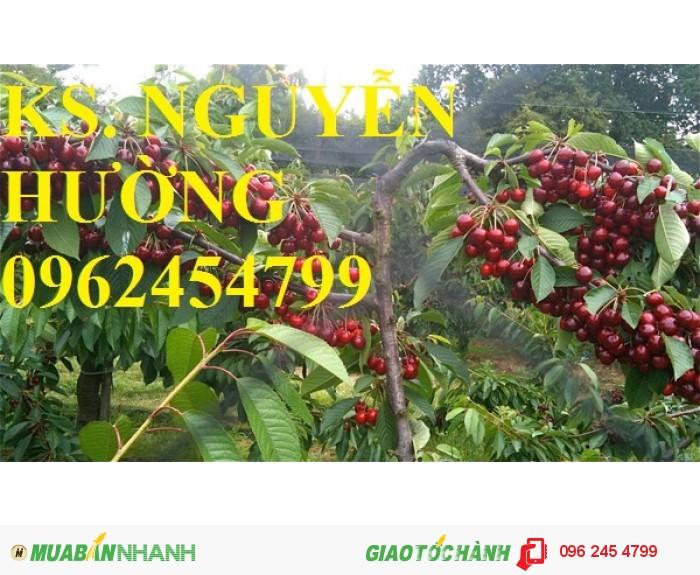 Giống cây cherry (giống cây che ry), cây cherry brazil, cây cherry anh đào nhập khẩu2