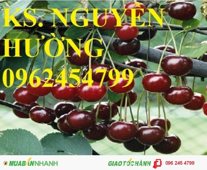 Giống cây cherry (giống cây che ry), cây cherry brazil, cây cherry anh đào nhập khẩu3