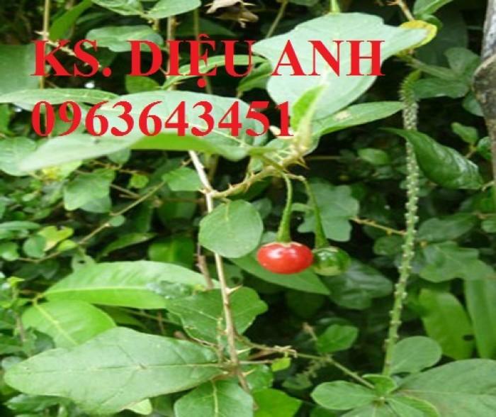 Bán cây giống, hạt giống cà gai leo, bao tiêu sản phẩm đầu ra2