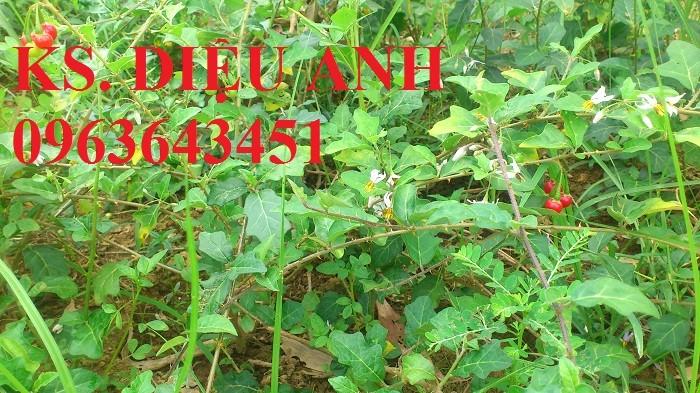 Bán cây giống, hạt giống cà gai leo, bao tiêu sản phẩm đầu ra4
