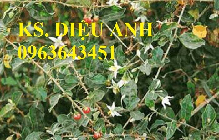 Bán cây giống, hạt giống cà gai leo, bao tiêu sản phẩm đầu ra5
