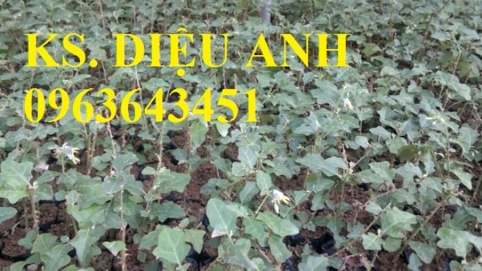 Bán cây giống, hạt giống cà gai leo, bao tiêu sản phẩm đầu ra6