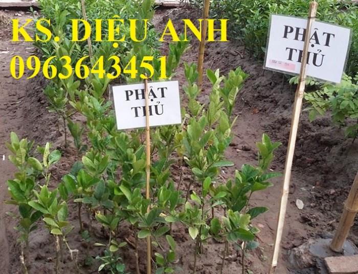 Bán cây giống Tre bát độ, Phật thủ, Vối nếp, Hoa hòe đảm bảo chất lượng cây giống4