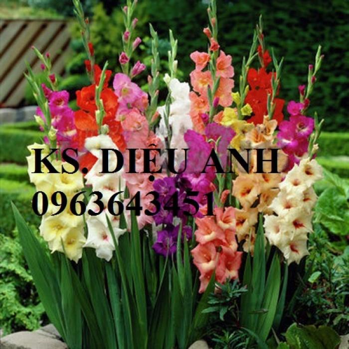 Chuyên cung cấp cây giống, củ giống hoa lay ơn (hoa dơn) số lượng lớn, đủ màu, đủ size, chất lượng đảm bảo2
