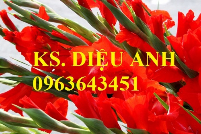 Chuyên cung cấp cây giống, củ giống hoa lay ơn (hoa dơn) số lượng lớn, đủ màu, đủ size, chất lượng đảm bảo3