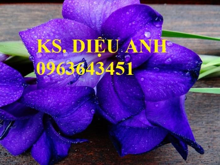 Chuyên cung cấp cây giống, củ giống hoa lay ơn (hoa dơn) số lượng lớn, đủ màu, đủ size, chất lượng đảm bảo4