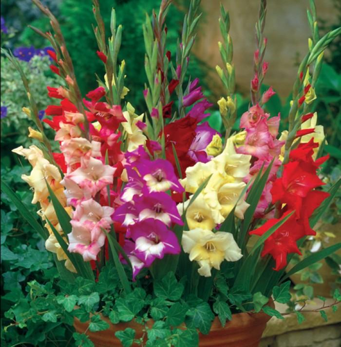 Chuyên cung cấp cây giống, củ giống hoa lay ơn (hoa dơn) số lượng lớn, đủ màu, đủ size, chất lượng đảm bảo6