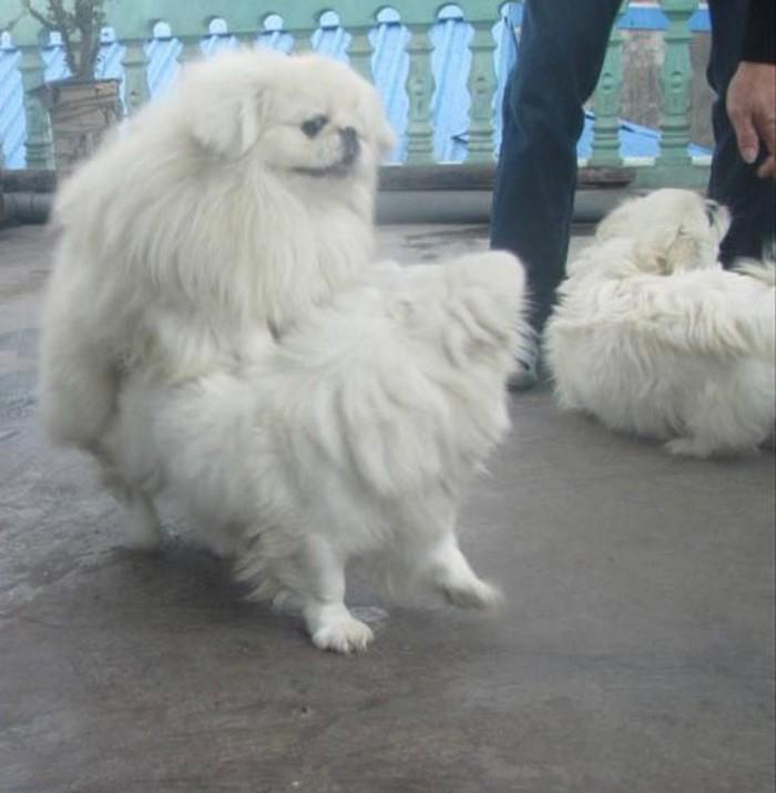 Nhận phối giống chó Bắc Kinh chuẩn0