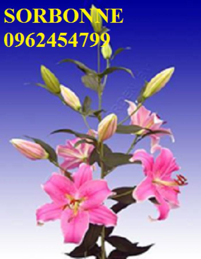 Chuyên cung cấp giống củ hoa lily, lay ơn, tuy líp, tiên ông các màu nhập khẩu chất lượng cao