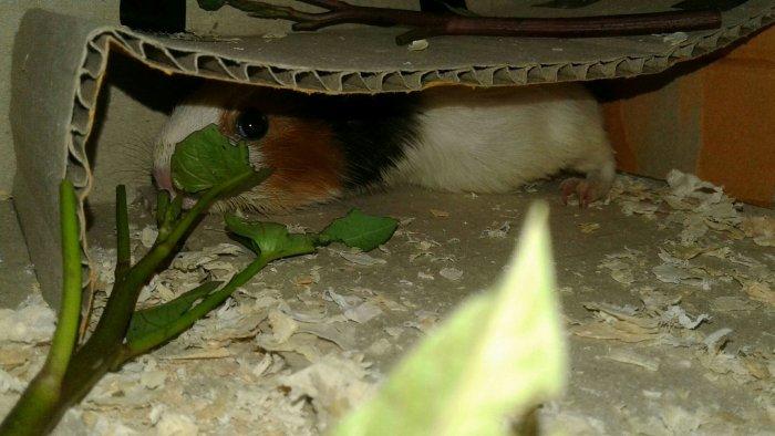 Chuột lag0