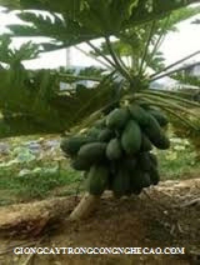 Bán cây giống, hạt giống đu đủ Đài Loan, đu đủ lùn cao sản Thái Lan, đu đủ vàng lùn.