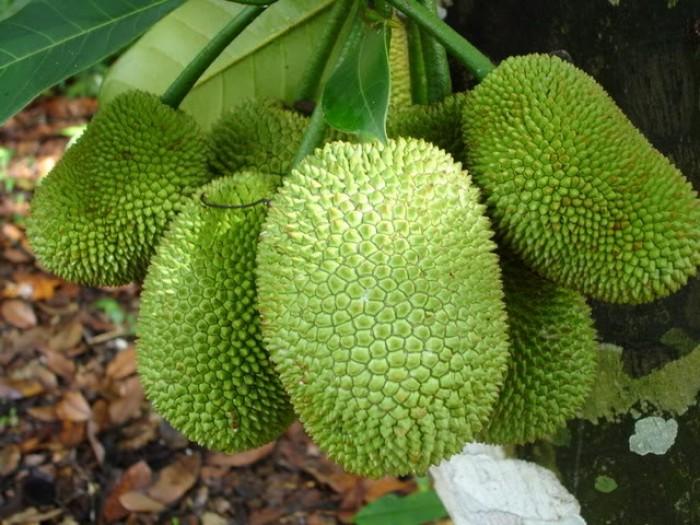 Bán cây giống mít không hạt, mít ruột đỏ, mít nghệ tứ quý, mít siêu sớm, mít tố nữ.