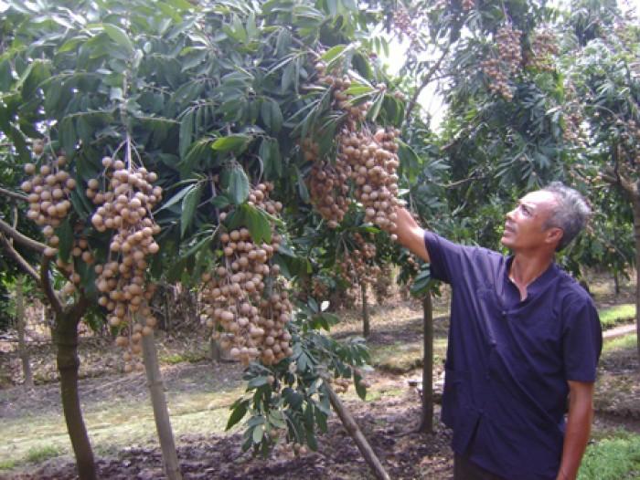 Bán cây giống nhãn muộn Hưng Yên, nhãn T6 Hà Tây, nhãn Hương Chi, nhãn không hạt.