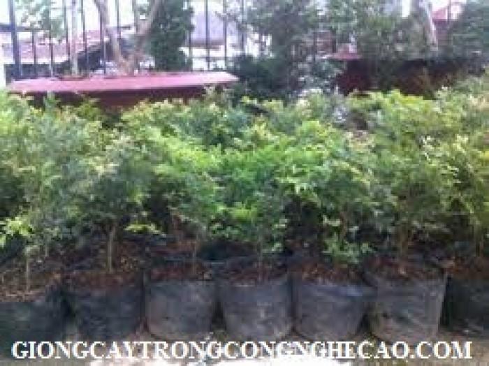Bán cây giống nho thân gỗ, nho Pháp, nho Ninh Thuận.