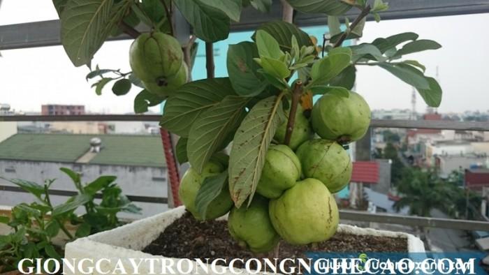 Cây giống ổi: ổi không hạt, ổi nữ hoàng, ổi tím, ổi lê Đài Loan, ổi tứ quý, ổi Đài Loan đỏ