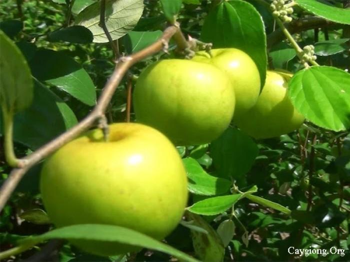 Bán cây giống táo: táo đào vàng, táo Thái Lan, táo D28, táo Đài Loan, táo chua Gia Lộc