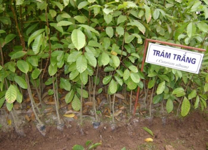 Bán cây giống trám đen, Trám trắng số lượng lớn, chất lượng cao