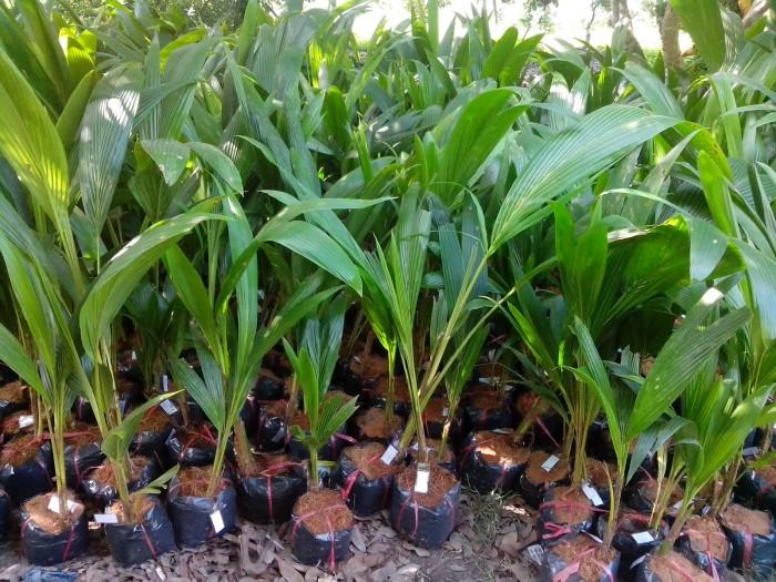 Bán cây giống dừa xiêm lùn số lượng lớn, chất lượng cao.