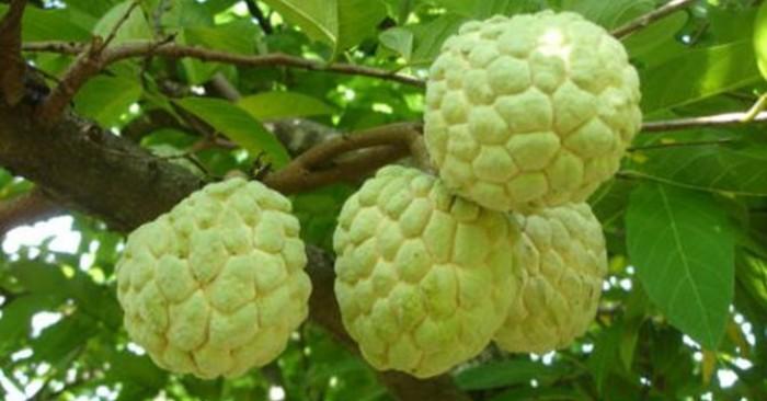 Bán cây giống na Thái Lan, Na dai, Mãng cầu xiêm chuẩn F1
