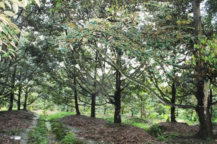Bán vườn cây QL 20, Hà Lâm, Đạ Huoai, Lâm Đồng 4ha giá 5.3 tỷ TL