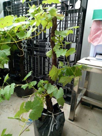 Bán cây nho xanh và nho đỏ Phan Rang