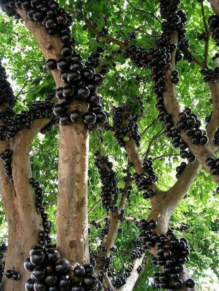 Lợi ích của Nho Thân Gỗ và sức hút của loài cây này