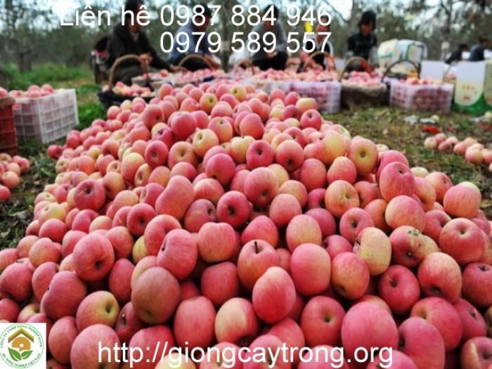 Bán buôn Bán Lẻ cây giông táo đỏ