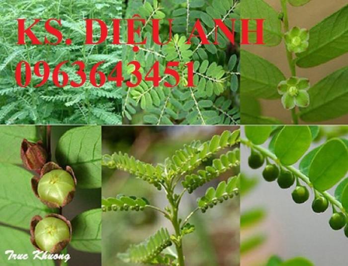 Cung cấp hạt giống, cây giống diệp hạ châu (cây chó đẻ) số lượng lớn, hoạt chất cao, bao tiêu sản phẩm