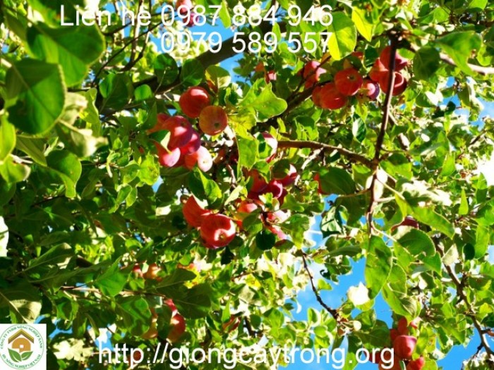 giống cây táo tây