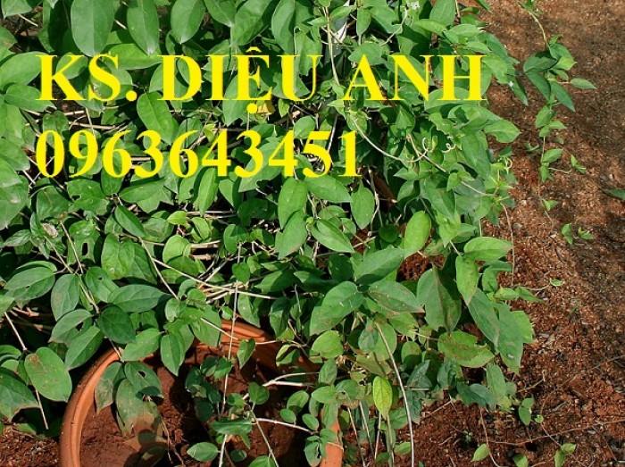 Chuyên cây giống, hạt giống dây thìa canh số lượng lớn, chất lượng cao