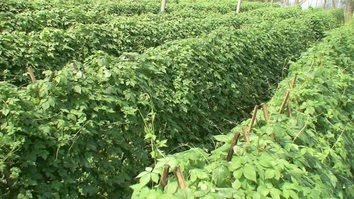 Cung cấp hạt giông, cây giống giảo cổ lam số lượng lớn, chất lượng cao.