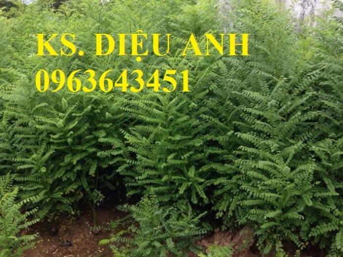 Chuyên cây giống hoa hòe, sản phẩm hoa hòe số lượng lớn, chất lượng cao.