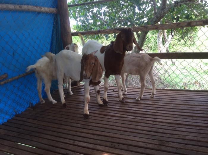 Mua bán dê giống tại Thái Nguyên