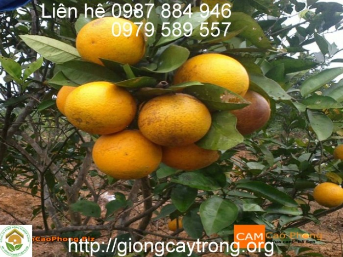 Cam V2 là giống cam ngọt chín muộn, khả năng thích nghi rộng, kháng bệnh tốt. Cây sinh trưởng phát triển tốt, phân cành đều, cây cân đối, khả năng ra hoa đậu quả cao Giống cam V2 được chọn tạo bởi TS Đỗ Năng Vịnh, Phó Viện trưởng Viện Di truyền nông nghiệp (Viện KHNN VN) '