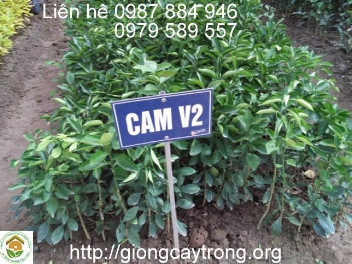 .Giống cam V2 được chọn  từ giống Valencia Olinda, làm sạch bệnh qua vi ghép, cây khoẻ và năng suất khá hơn so với giống gốc.