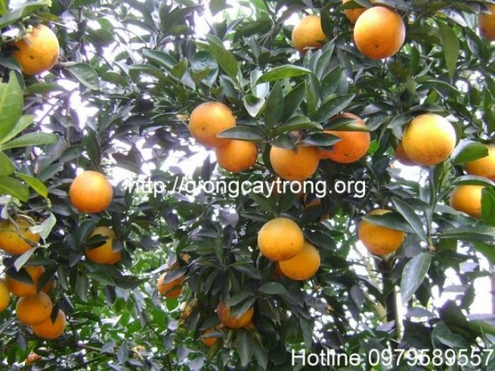 Đây là giống cam ngọt chín muộn, khả năng thích nghi rộng, kháng bệnh tốt, thu hoạch muộn hơn hoặc cùng lúc với cam sành ở các tỉnh phía Bắc, từ cuối tháng 12 đến tháng 3.