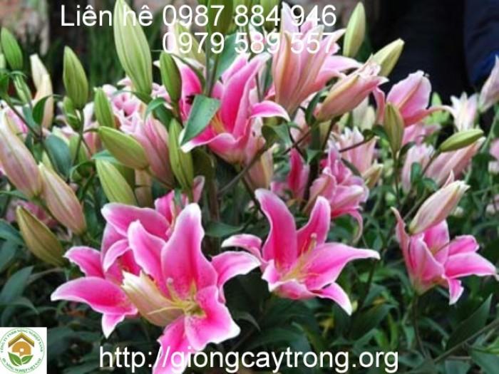 Bán Buốn Bán Lẻ Củ Giống Hoa Ly Hoa Tulip Trồng Tết 2017