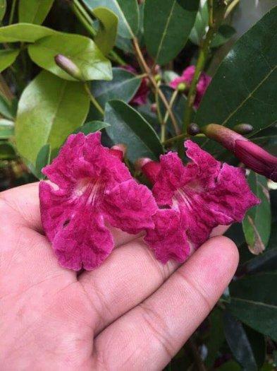 Hoa chuông Mỹ ( Pink Trumpet tree )