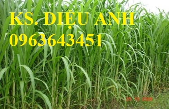 Chuyên cung cấp hom giống, hạt giống cỏ chăn nuôi: cỏ VA06, cỏ Sudan, cỏ Sweet jumbo